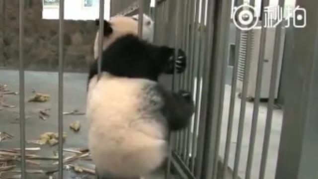 Panda vast tussen tralies na ontsnappoging voor melk