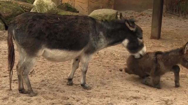 Mini-ezel geboren bij Dierenpark Amersfoort