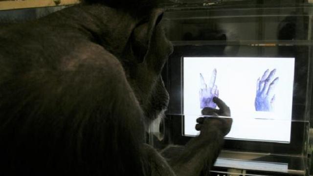 Chimpansees kunnen spel steen-papier-schaar leren spelen