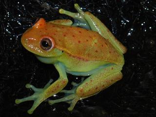 Nog onduidelijk waarom hypsoboas punctatus blauwgroen kan oplichten