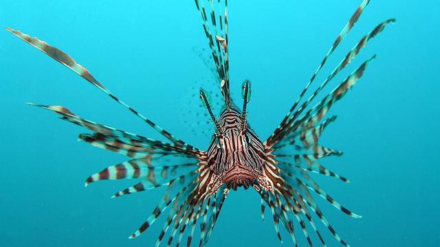 'Koraalduivels koloniseren Middellandse Zee'