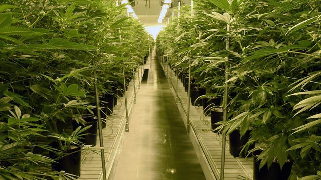 NUcheckt: Kan cannabisolie kanker genezen?