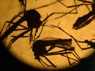 Komende weken meer bekend over link tussen zika en afwijking aan schedels kinderen