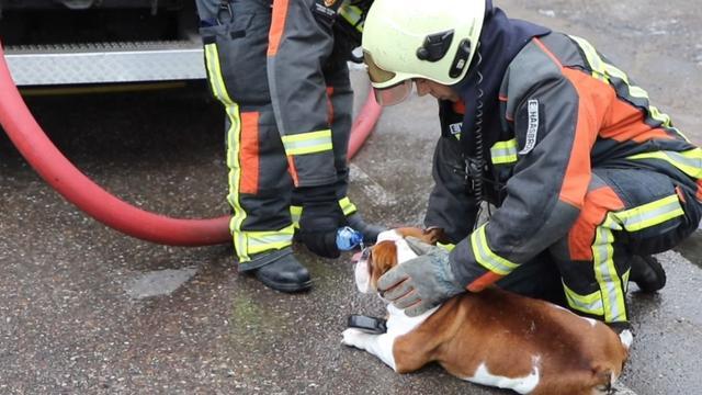 Brandweer redt Engelse buldog uit brandende woning Zoeterwoude