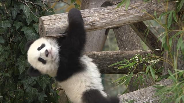 Pandatweeling dierentuin Wenen voor het eerst naar buiten
