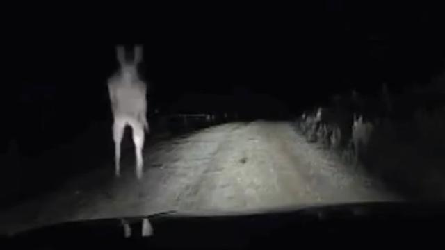 Kangoeroe valt auto aan