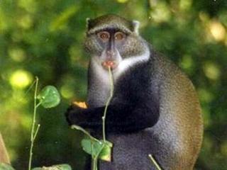 Apen verspreiden door eetgewoonte mogelijk ebola