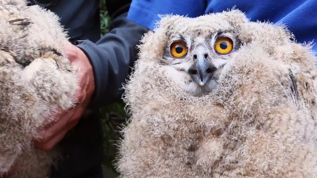 Pasgeboren wilde oehoes in Burgers' Zoo gewogen en geringd