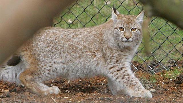 Zoektocht naar ontsnapte lynx met helicopter en drone