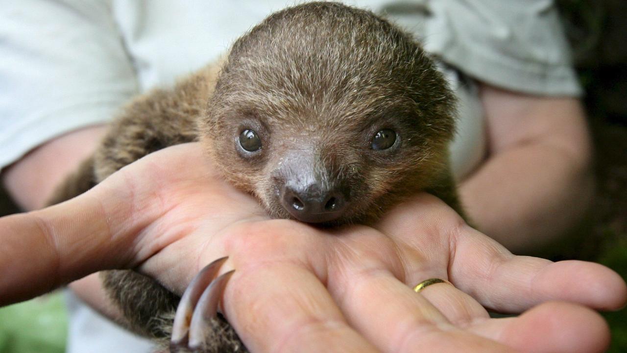 Luiaard geboren in Amersfoortse dierentuin