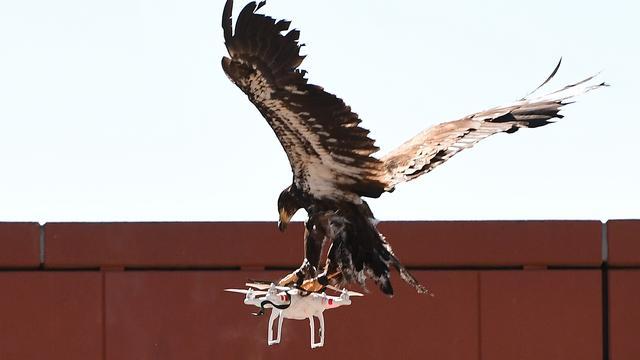 Politie vangt drones met roofvogels
