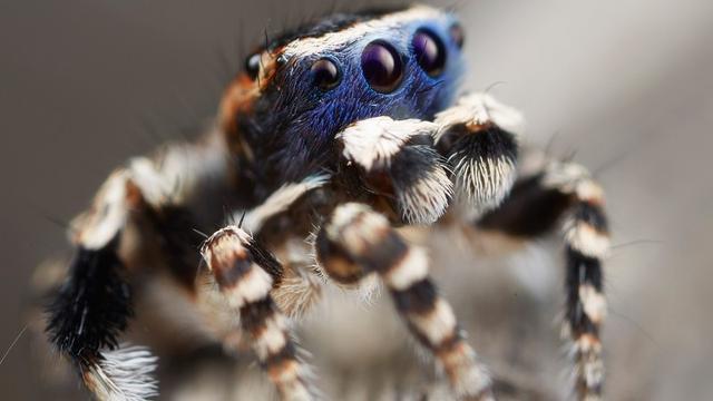 Nieuwe spinnensoort met kleurrijk 'masker' ontdekt in Australië