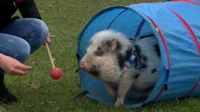 Varkentje in Toldijk doet mee aan puppycursus