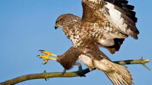 Roofvogelshow in Borssele