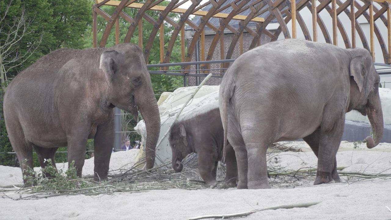 Olifanten betreden voor het eerst nieuw buitenverblijf Artis