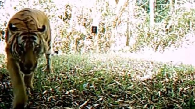 Nieuwe populatie zeldzame Noord-Indochinese tijgers gefilmd