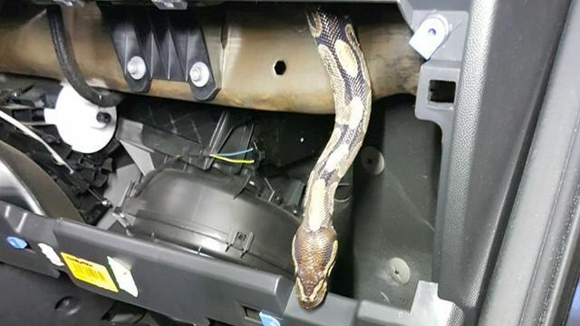 Twentse automonteur vindt python in dashboardkastje