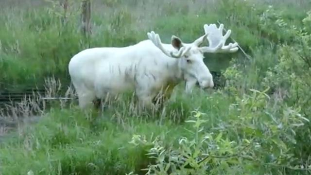 Zeldzame witte eland gefilmd in Zweden