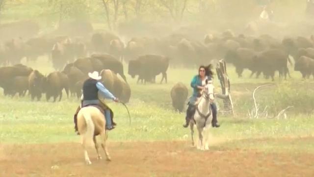 Duizenden mensen bij jaarlijkse buffelrazzia in South Dakota