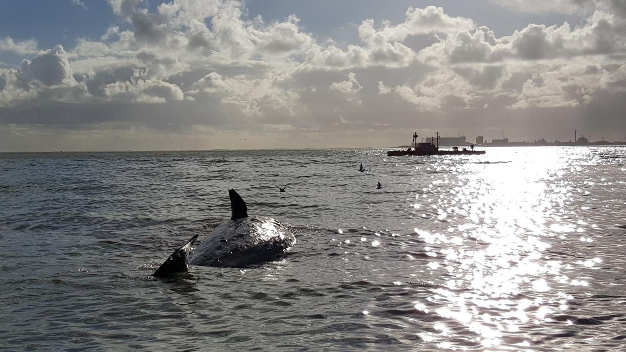 Nog twee dode potvissen bij Texel