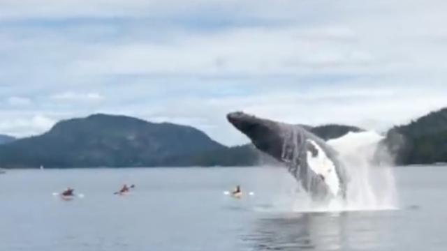 Kajakkers worden bijna geplet door springende walvis