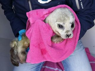 Te vroeg geboren zeehondenpup weegt net vijf kilo