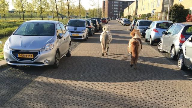 Losgebroken pony's wandelen door Kerk en Zanen