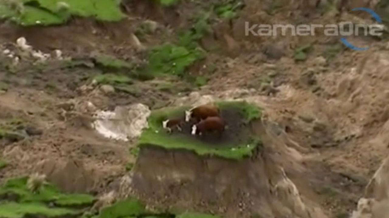 Koeien gestrand door aarbeving Nieuw-Zeeland | NU - Het ...