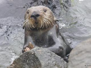 Voorouders van dieren sloegen al schelpdieren open met stenen