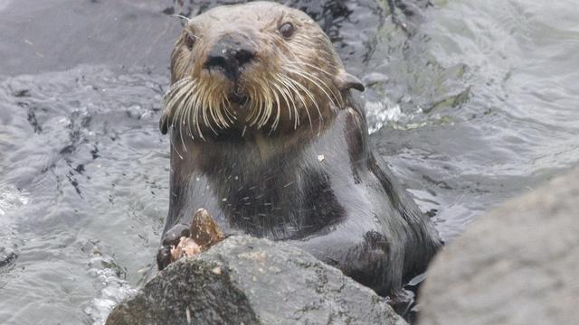 Zeeotters gebruiken al miljoenen jaren gereedschap