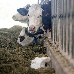 Biologische melkveehouders naar rechter om aanpak mestcrisis