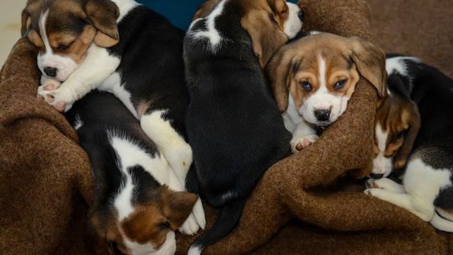 89 puppy's in beslag genomen in onderzoek naar illegale hondenhandel