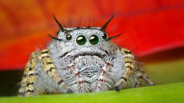 'Spinnen eten vaker vegetarisch dan gedacht'