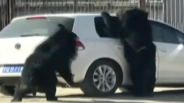 Beer kruipt bijna auto binnen in safaripark China