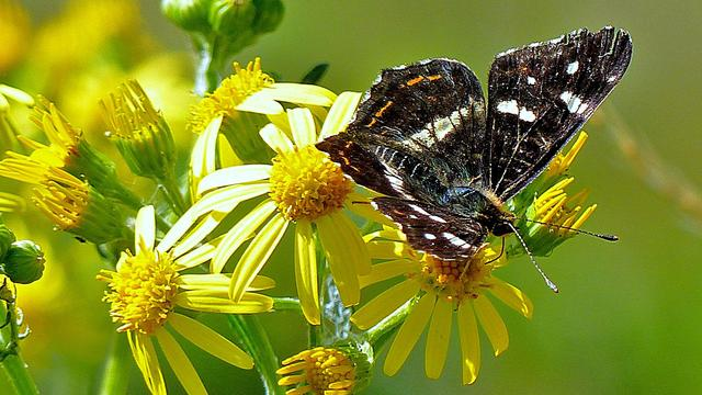 Vlinderstand neemt voorzichtig toe in Nederland