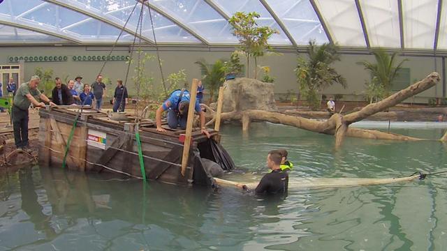 Verhuizing zeekoeien naar nieuwe mangrovehal Burgers' Zoo