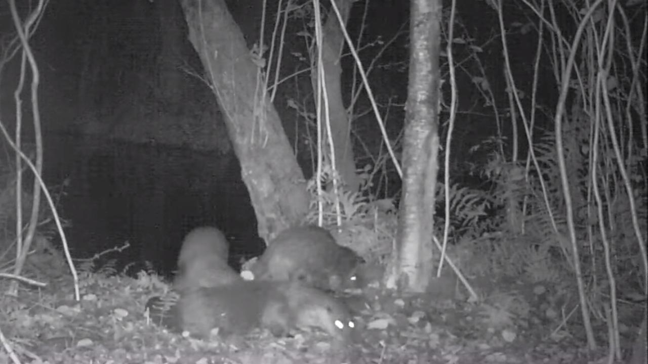 Drie otters geboren in Nieuwkoopse Plassen