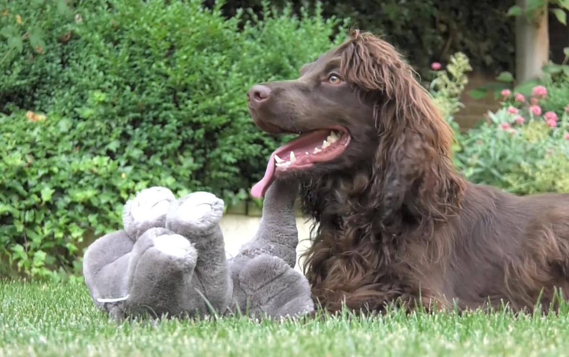 Nederlandse 'ivoorhond' gaat stropers opsporen in Mali