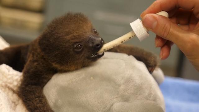 Luiaard van dag oud wordt gewogen in Memphis Zoo
