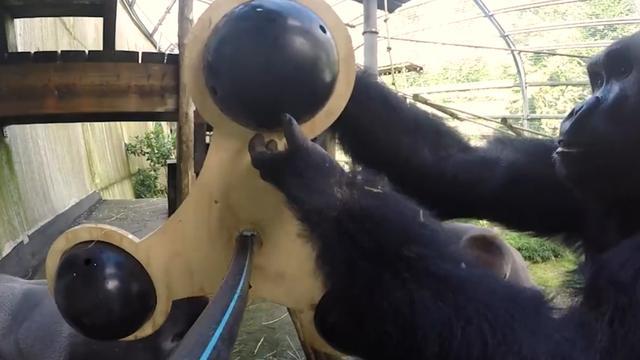 Gorilla's spelen met grote Fidget Spinner in Ouwehands Dierenpark