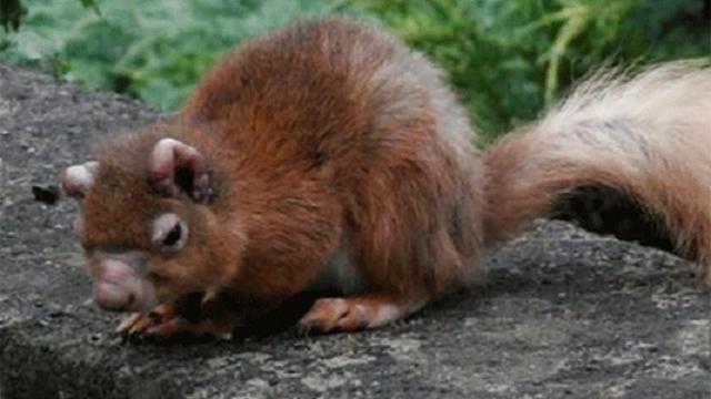 Britse eekhoorns dragen middeleeuwse vorm van lepra bij zich