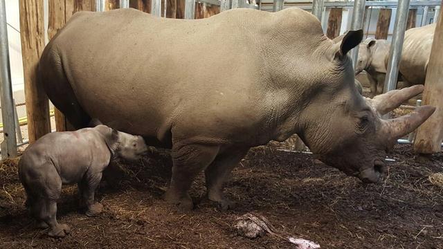 Breedlipneushoorn geboren in Burgers' Zoo