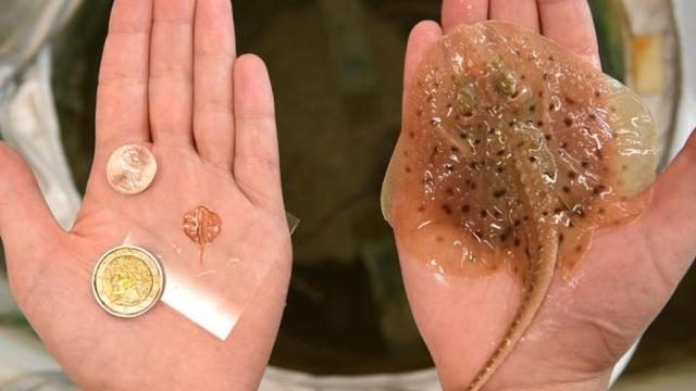 Onderzoekers maken 'robotrog' met gouden skelet en spiercellen