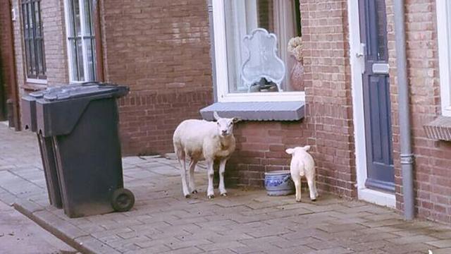 Ontsnapt schaap gevangen dankzij standbeeld van lam in 's-Gravendeel