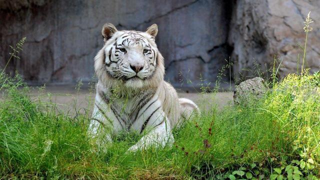 Oppasser gedood door tijger in Engelse dierentuin