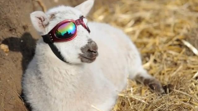 Lammetje heeft zonnebril nodig vanwege oogziekte
