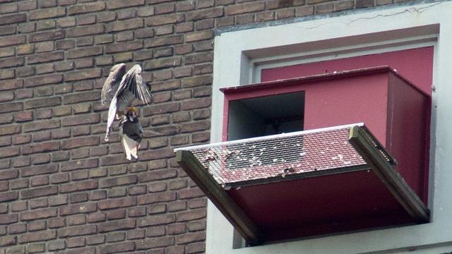 Partij voor de dieren boos om doden van duiven