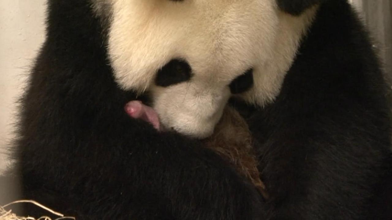 Panda ontfermt zich over pasgeboren jong in Belgisch dierenpark