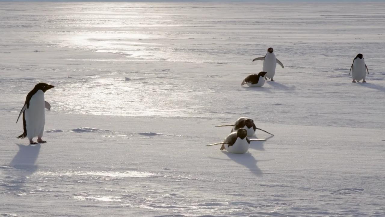 Zo leven adeliepinguïns op de Zuidpool