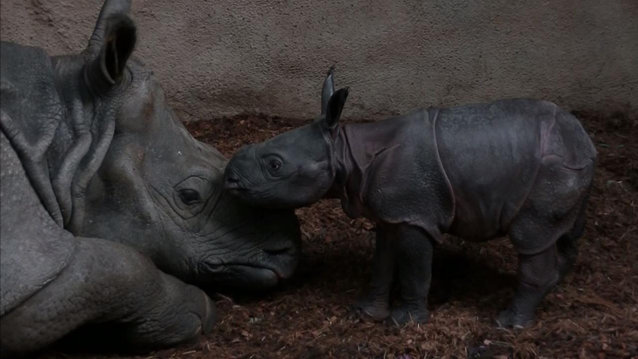 Pasgeboren neushoorntje zet eerste stappen in Diergaarde Blijdorp